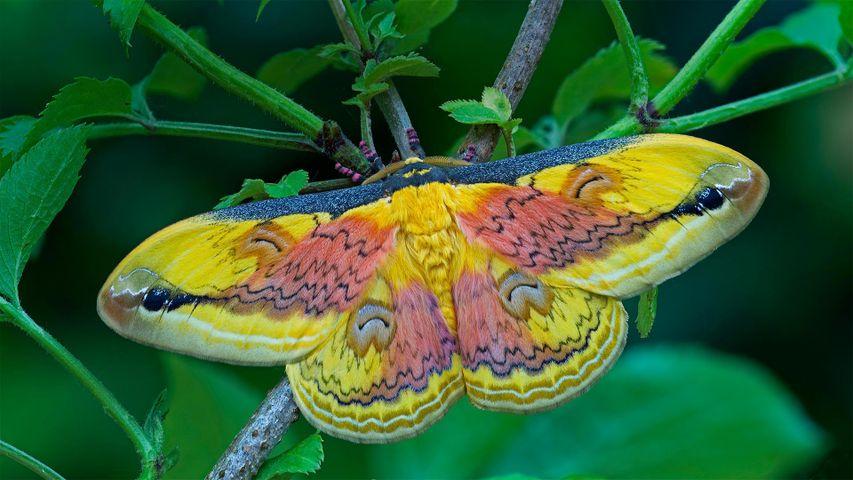 A Loepa oberthuri moth