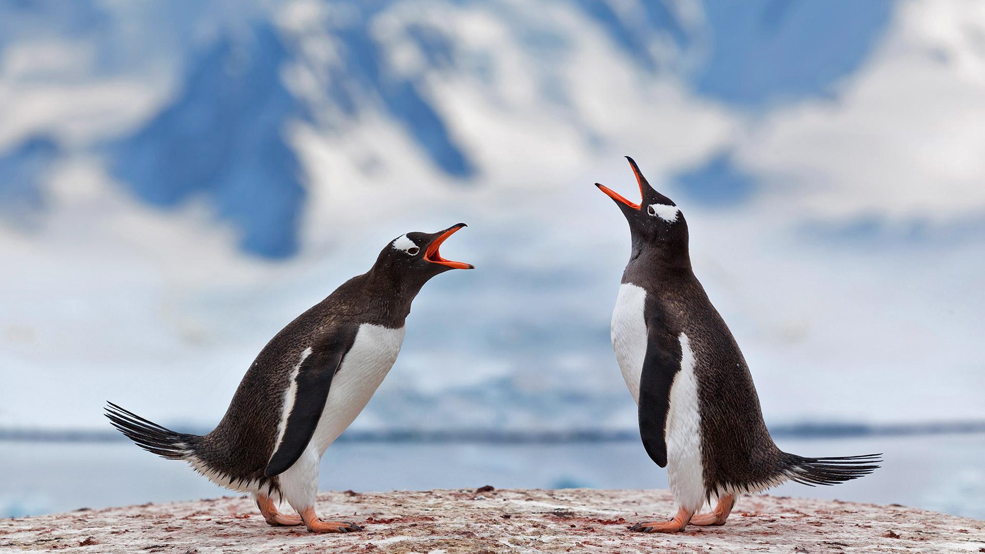 Gentoo penguins airing grievances in Antarctica