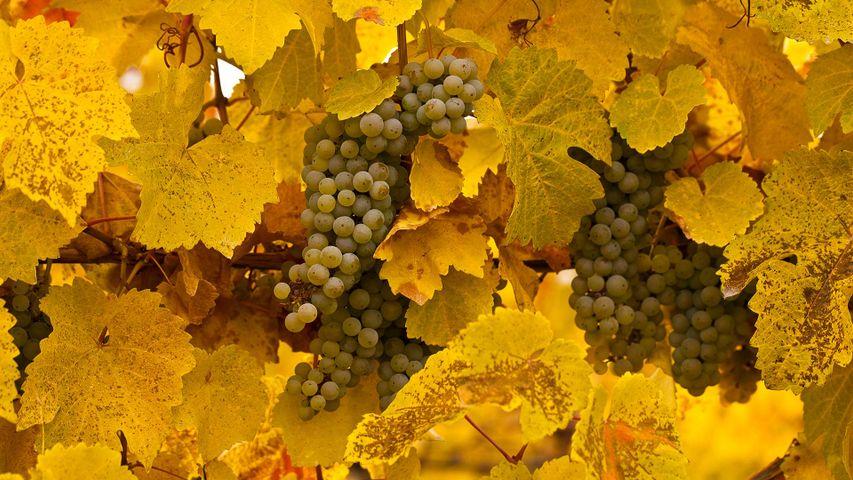 Gewurztraminer grapes on vine at autumn harvest in Okanagan Valley, B.C.