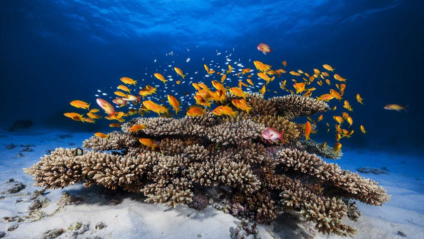 Anthias rouges en train de nager au-dessus d'un corail, Mayotte, France