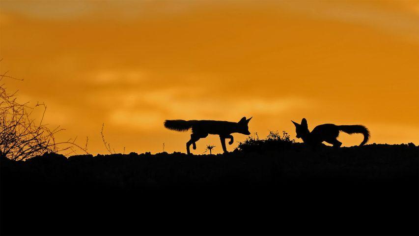 Kapfüchse in der Kalahari, Südafrika