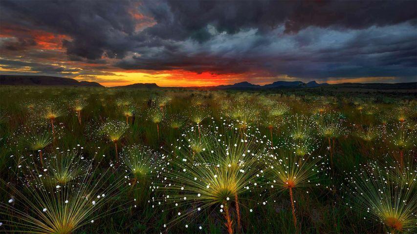 Paepalanthus flowers at sunset, Chapada dos Veadeiros National Park, Brazil