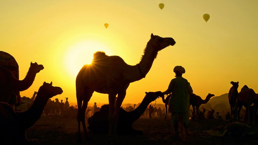 Camels gather with their herders at the Pushkar Camel Fair, Rajasthan, India