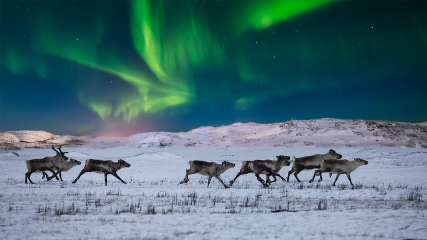 Northern lights and wild reindeer on the tundra in Norway