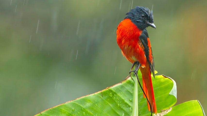 A scarlet Minivet during rainfall, West Bengal