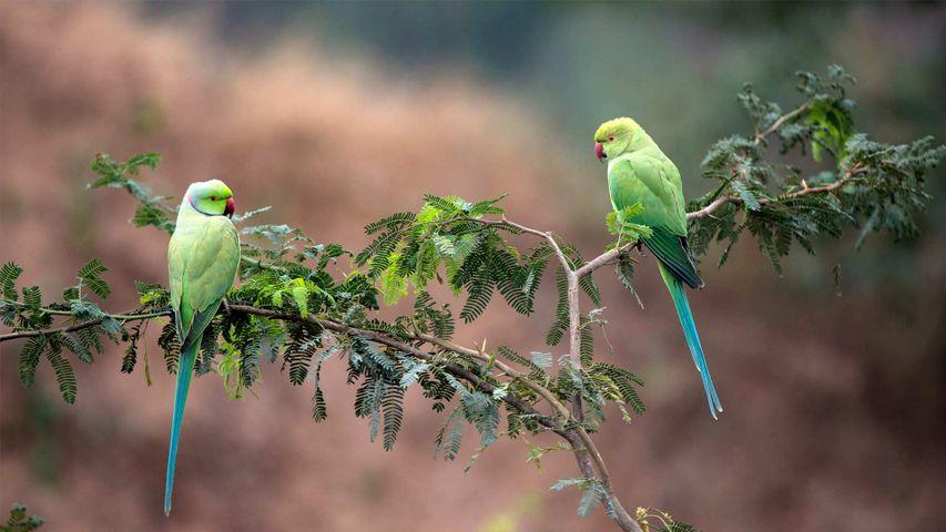 Gharial野生动物保护区中的两只玫瑰环鹦鹉,印度中央邦