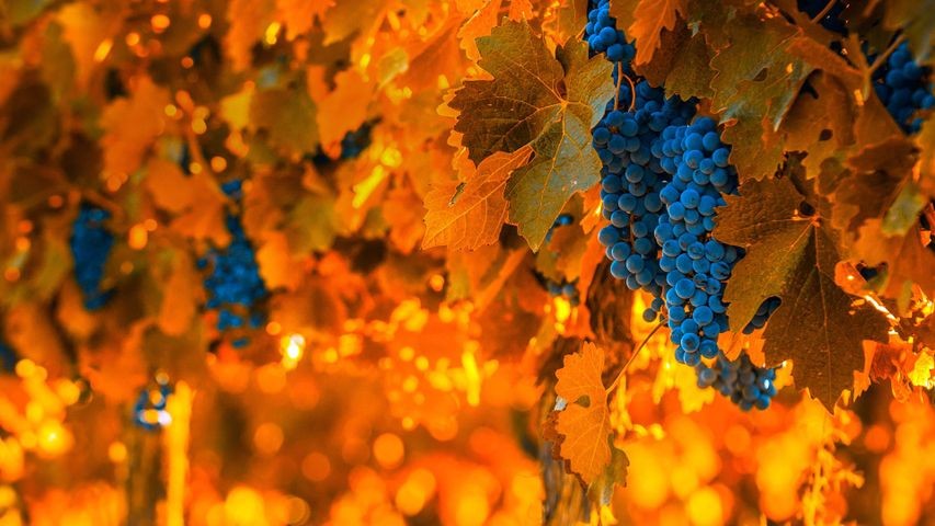 Grapes on the vine in Mendoza, Argentina, for the National Grape Harvest Festival