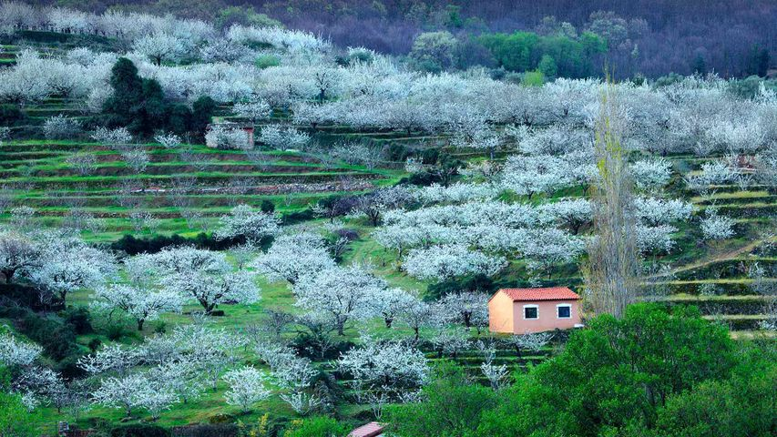 Cerezos en flor en el valle del Jerte, Cáceres