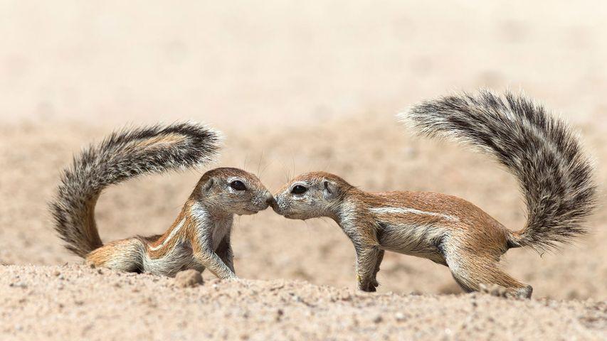 Écureuils terrestres se saluant, dans le parc transfrontalier de Kgalagadi, Cap-Nord, Afrique du Sud