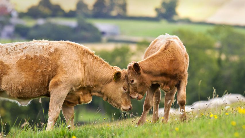 Cow with calf in a rural field for Mother's Day