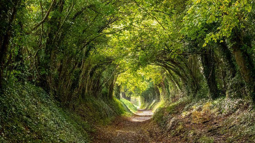 Halnaker tree tunnel near Chichester, West Sussex