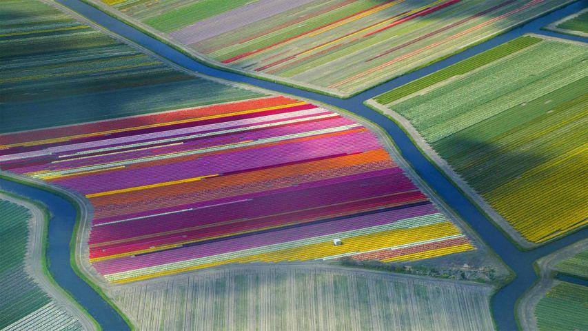 Tulip fields in the Duin- en Bollenstreek region for the Amsterdam Tulip Festival