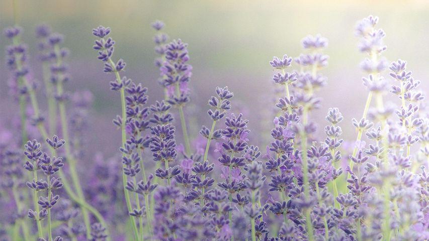 Lavender fields at lavender farm, Islip, Chipping Norton, Oxfordshire