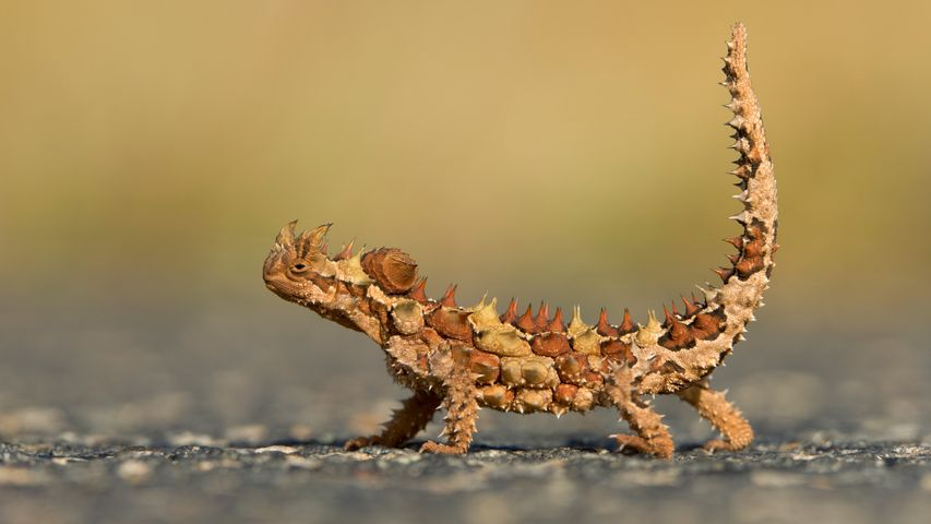 Thorny Devil (Moloch horridus) in Watarrka National Park, Northern Territory