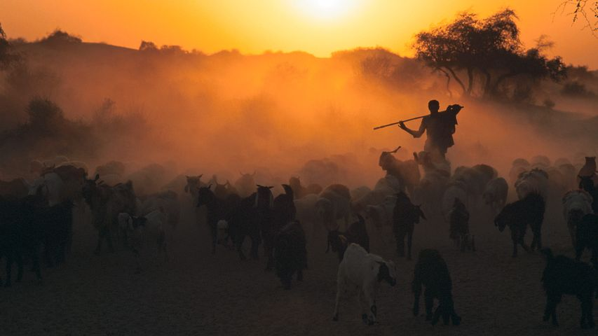 Shepherd with flock of sheep at dawn, Thar desert