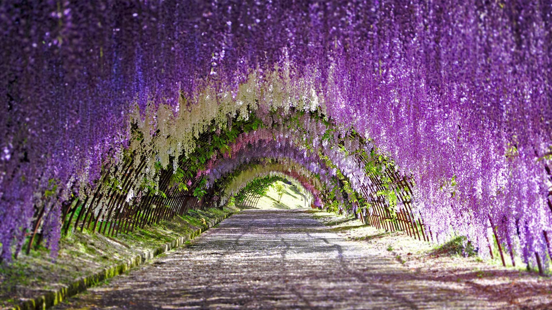 Wisteria blooms at Kawachi Fuji Gardens in Kitakyushu, Japan