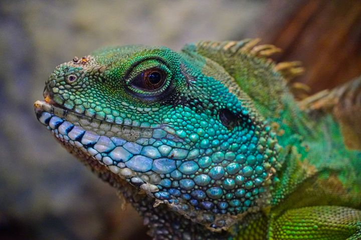 animal lizard reptile colorful iguania iguana iguanidae scaled reptile