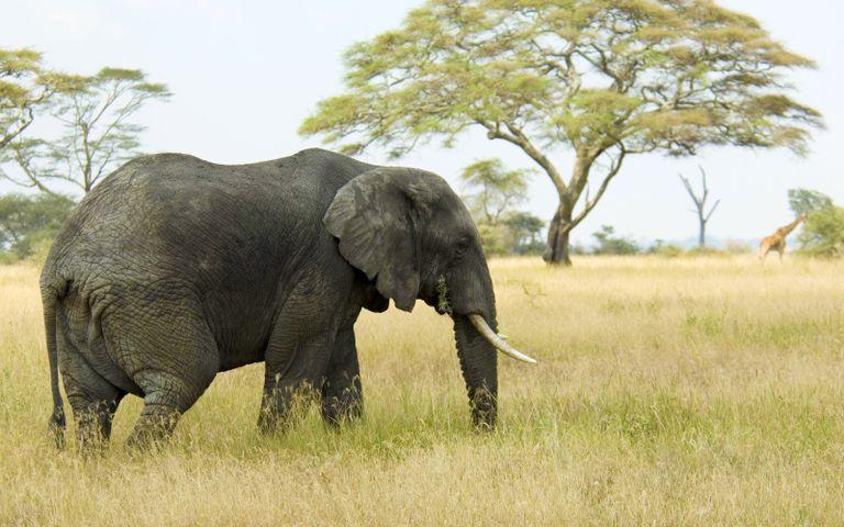 grass outdoor elephant animal tree sky mammal field