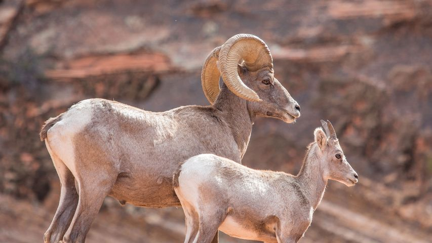 A father and a calf Ibex looking into the distance in Utah