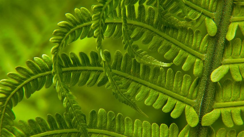 Detail of an ostrich fern in spring, Washington state