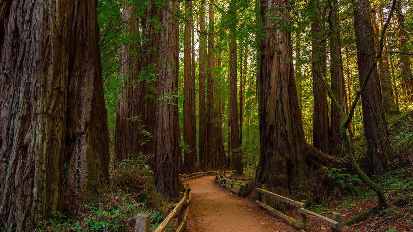 Muir Woods National Monument, California, USA