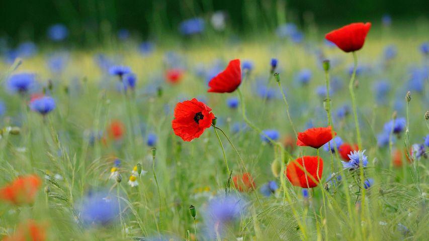 草地上的罂粟和矢车菊,德国北莱茵-威斯特法伦州