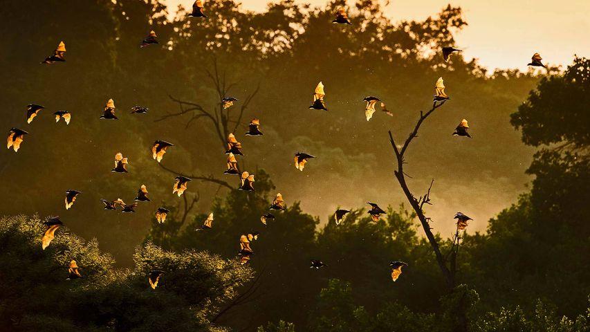 Murciélagos de la fruta en el parque nacional Kasanka, Zambia