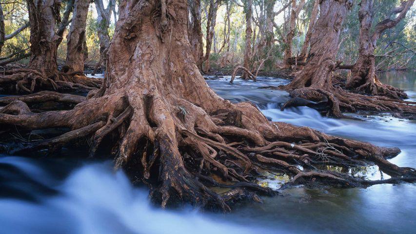 Melaleuca trees in a stream after cyclonic rainfall, Western Australia