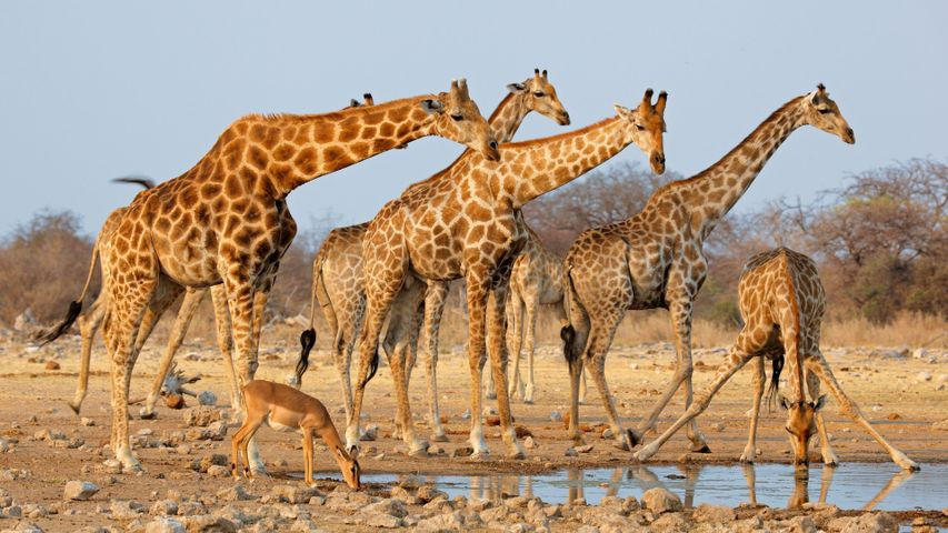 sky giraffe outdoor animal mammal ground giraffidae terrestrial animal
