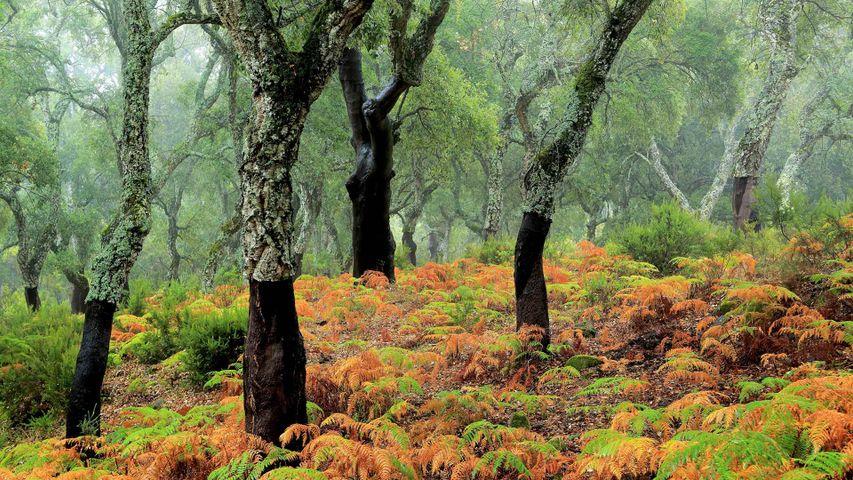 Cork tree forest