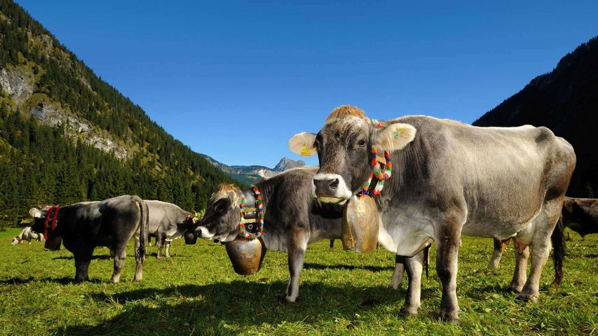 Cows decorated for the Almabtrieb in Tannheimer Tal, a valley in Tyrol, Austria