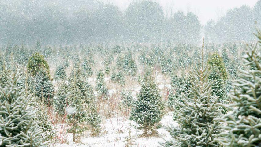 Christmas tree farm in Ontario