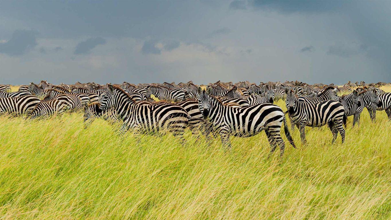 Zebras in Serengeti National Park, Tanzania