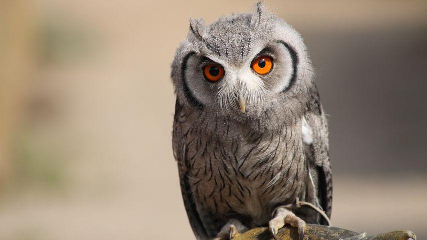 animal bird bird of prey owl eyes close staring