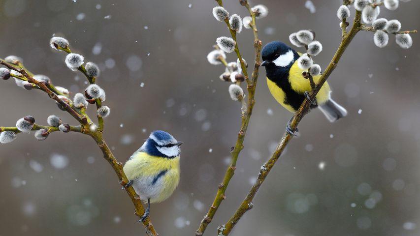 雪中的蓝山雀和大山雀,法国北孚日地区自然公园