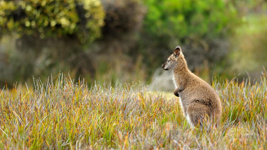 Wallaby at Mt. William National Park, Tasmania