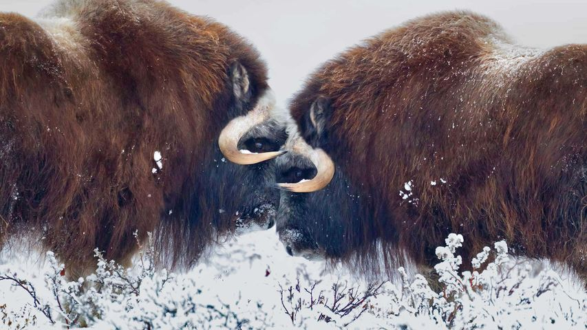 Male muskoxen near Prudhoe Bay in Alaska