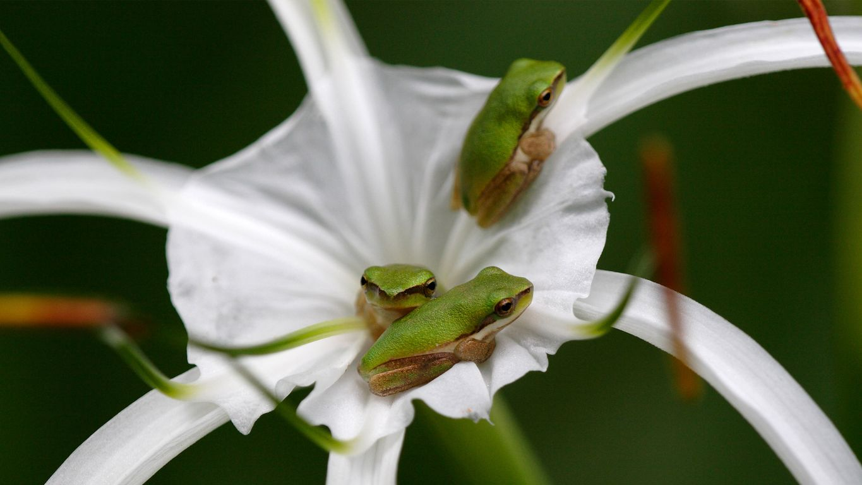 Eastern Sedgefrog (Litoria fallax) sheltering in a flower, Queensland