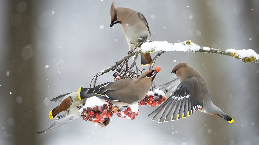 正在吃花楸果实的太平鸟
