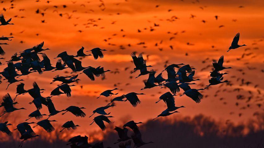 Sandhill cranes taking flight over the Platte River near Kearney, Nebraska