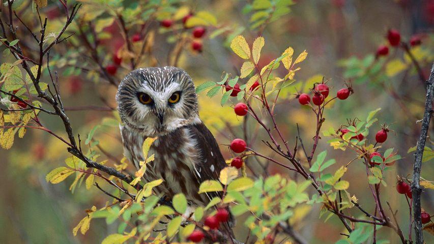 Northern Saw-whet Owl (Aegolius acadicus) perching in a wild rose bush in British Columbia