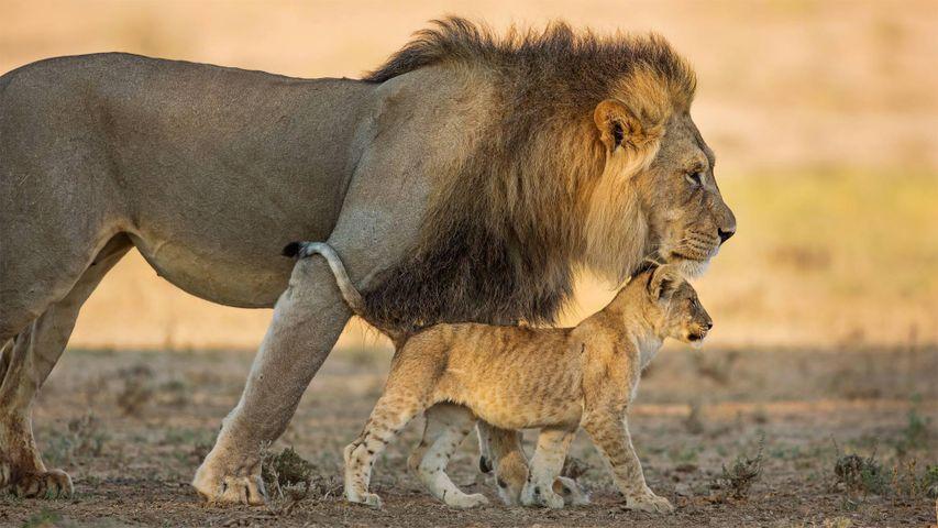 南非卡拉哈迪跨界公园的雄性非洲狮和它的幼崽