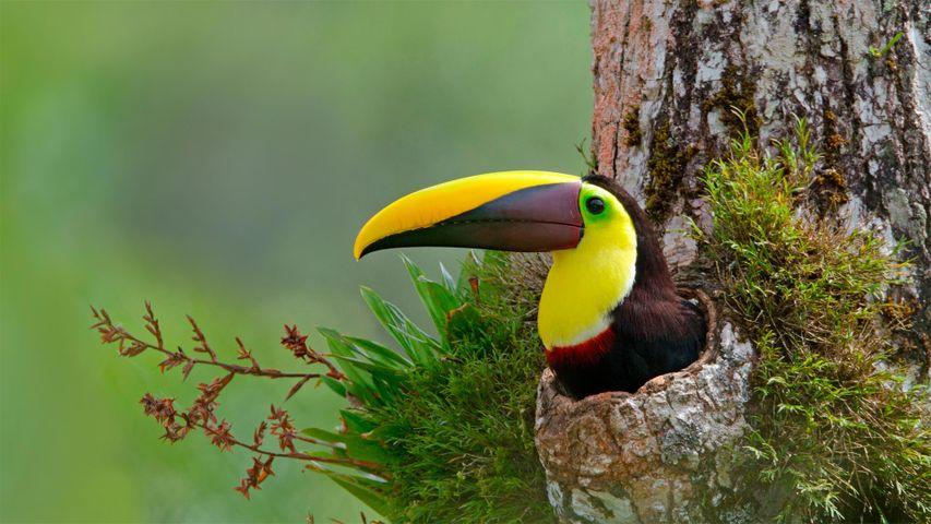 Chestnut-mandibled toucan in nest cavity, Costa Rica