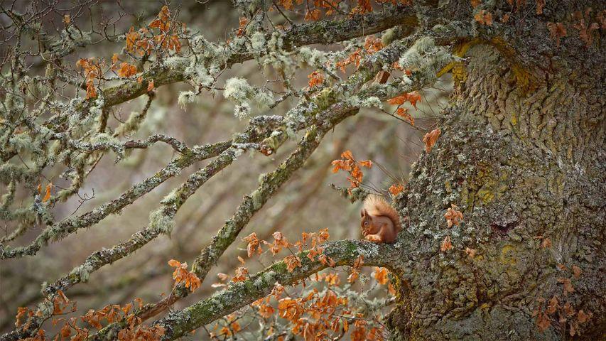 Red squirrel in the Scottish Highlands, Scotland