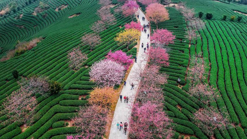 Blossoming cherry trees at a tea plantation in Longyan, China