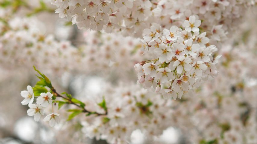 Cherry blossoms, Queen Elizabeth Park, Vancouver, Canada