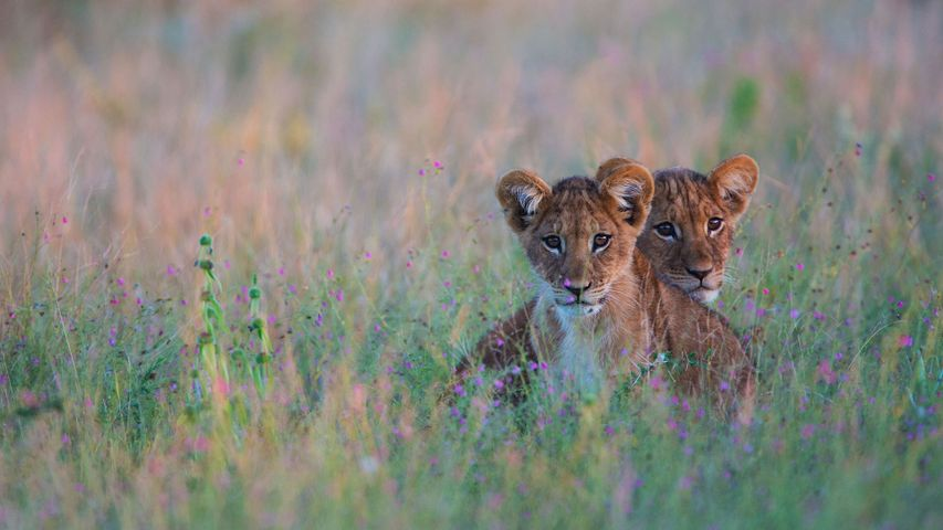 Lion cubs hiding in tall grass in the Kalahari Desert region of Botswana