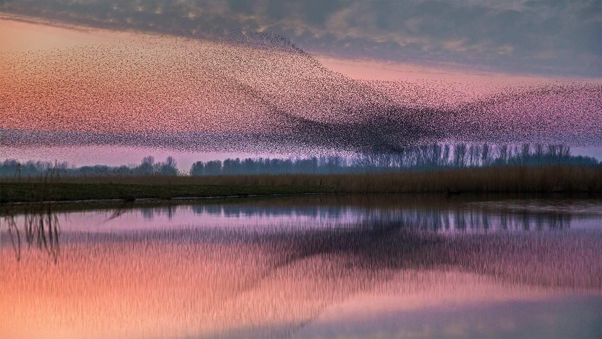 Starlings flock over Lauwersmeer National Park, Netherlands - Bing Gallery