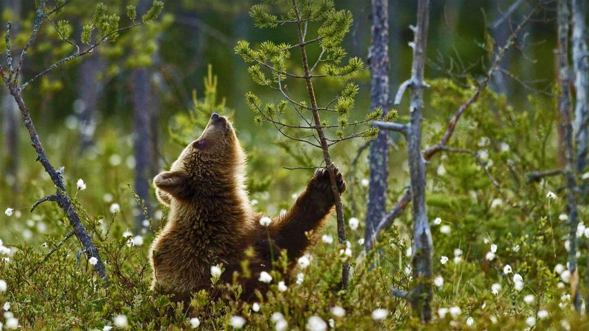 Eurasian brown bear cub, Finland