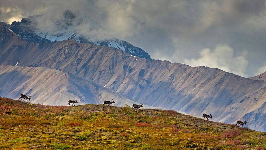 Rennes dans le parc national et réserve du Denali, Alaska